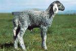 Karakul Lamb