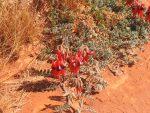 Styrts Desert Peas
