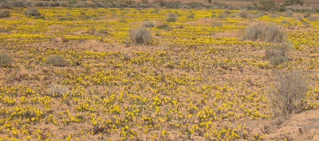 Desert in bloom