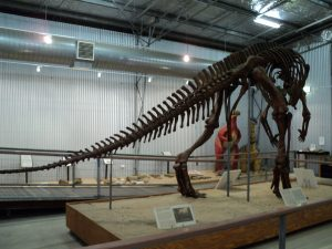 Muttaburrasaurus skeleton