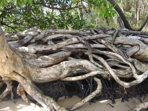 Twisted paperbark roots