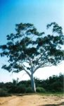 Biggest Ghost Gum in Central Australia