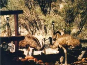 Emus at Pierre Springs