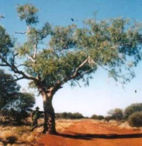 Len Beadell's tree on the Gunbarrel