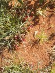 Upside down plant Leptosema chambersii