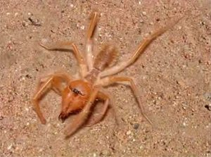 Red Roman Spider (Arachnid Solifugae)