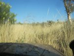 Dry Spinifex grass